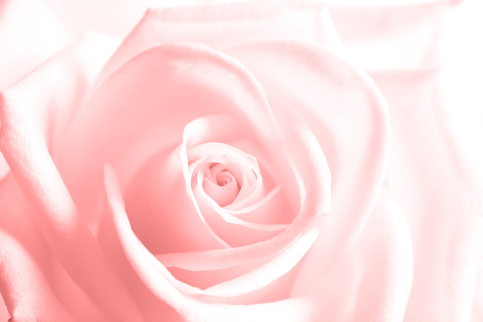Floral motif wallpaper, beautiful rose. Colorful background with soft blurred effect